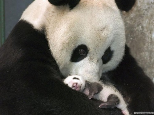 Panda Animal Mother